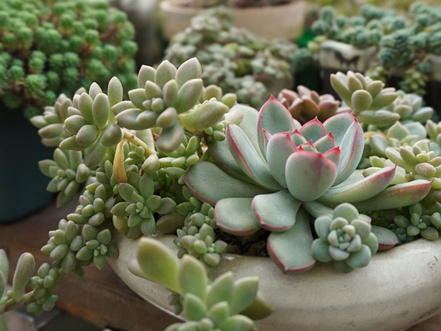 How to take care of succulents watering succulents with for How do you take care of succulents