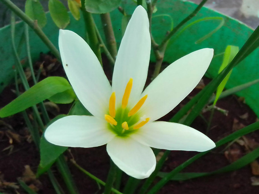 Ginger-Lily