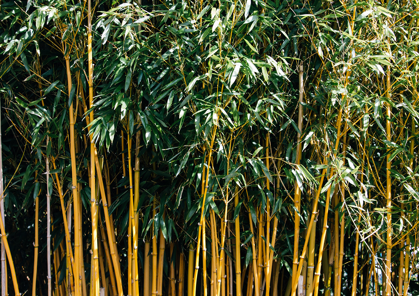 How To Grow Bamboo Plants In Your Garden