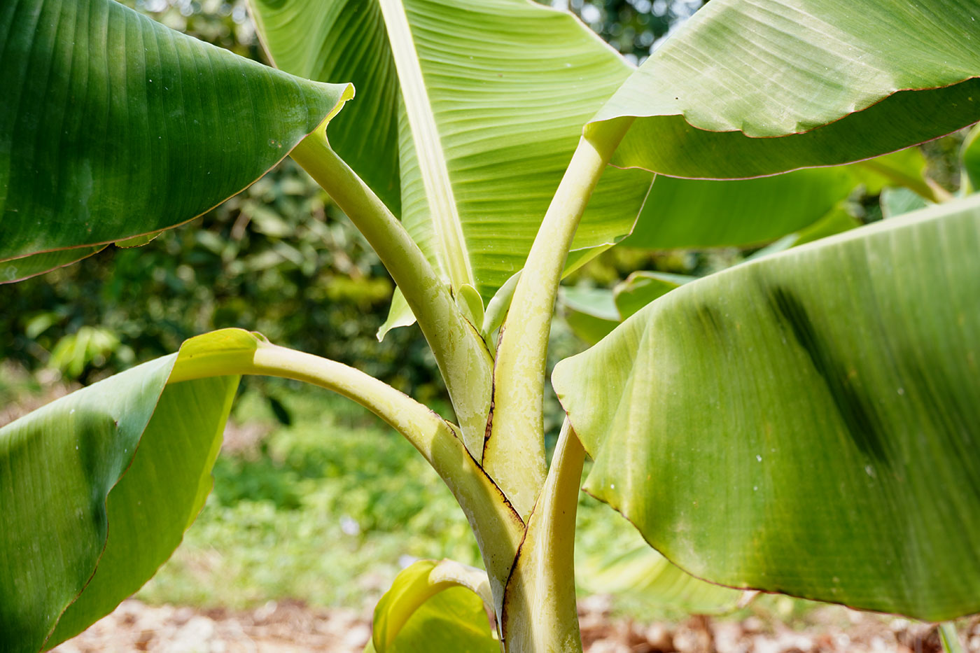 Banana Tree Guide